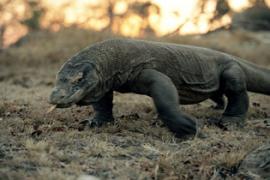 Komodo, Binatang Purba yang Istimewa