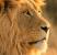 7 Fakta Unik Tentang Singa