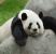 10 Fakta Unik tentang Hewan Panda yang Lucu