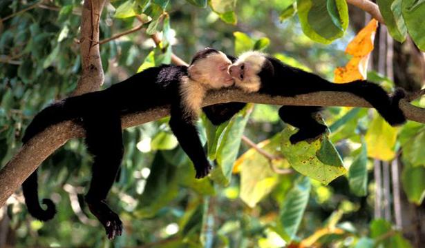 Monyet-Capuchin