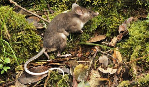 Tikus-Hidung-Babi-(2)