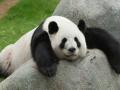 1. Panda adalah hewan soliter