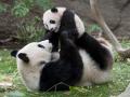 10. Ibu panda bisa berukuran hingga 900 kali dari bayi panda
