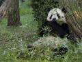 2. 99% makanan panda adalah bambu
