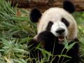 3. Panda gemar makan