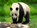 5. Panda tidak melakukan hibernasi