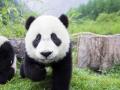 7. Panda bisa mengembik