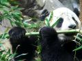 9. Bayi panda tidak bisa membuka mata setelah lahir
