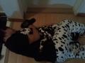 Anjing Dalmatian – Young Won 'DMTN'