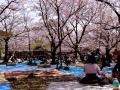 7. Piknik Di Bawah Pohon Sakura