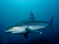 7. Ukuran hiu betina lebih besar dengan hiu jantan