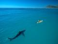 8. Manusia merupakan ancaman bagi hiu