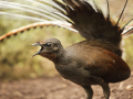 Burung Lyrebird