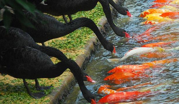 Ikan Koi Hitam