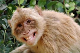 Monyet yang Pandai