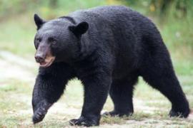 Awas Ada Beruang!