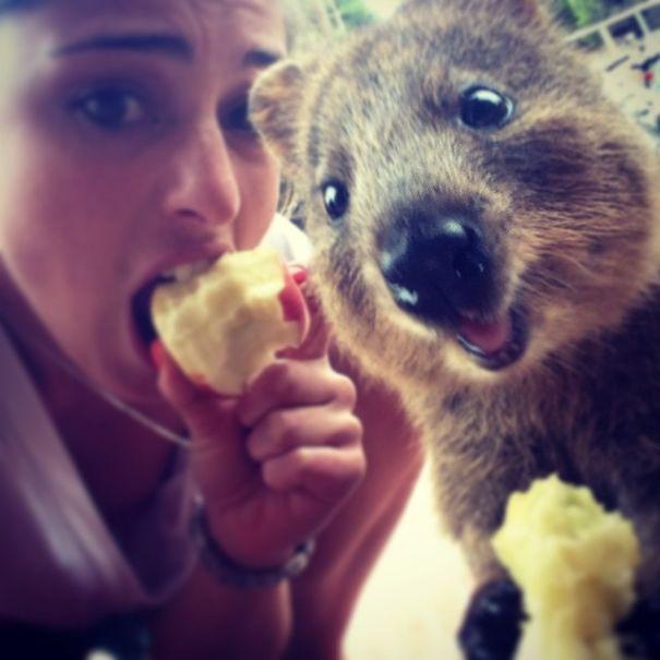 Quokka Selfie 2